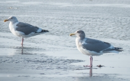 Two gulls.