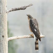 Female Sharp-shinned Hawk