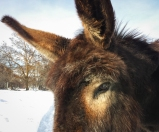 One of MA's donkeys.