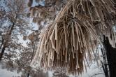 Hoarfrost on dead pine needles