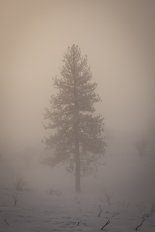 Single ghost tree in the fog.