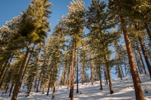 Ponderosa pines in glorious winter sunshine