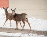 Town deer