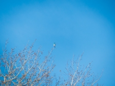 Way distant Mountain Bluebird against a bluebird sky