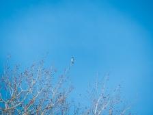 Way distant Mountain Bluebird against a bluebird sky
