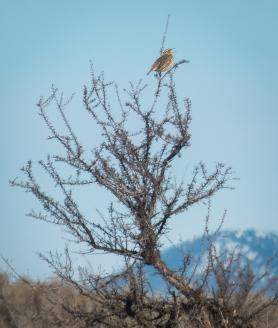 Singing Western Meadowlark
