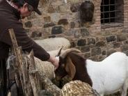 Ken likes goats