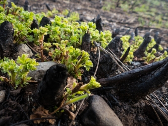 Currant emerging from roots of a burned shrub