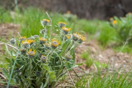This balsamroot is in an area that didn't burn so hot.