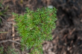 Lomatium sp