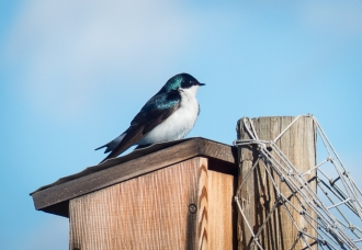 Tree Swallow on a nest box on the garden fence