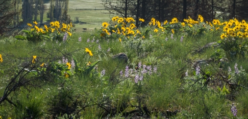 Balsamroot and lupine