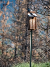 More Tree Swallows at another nest box