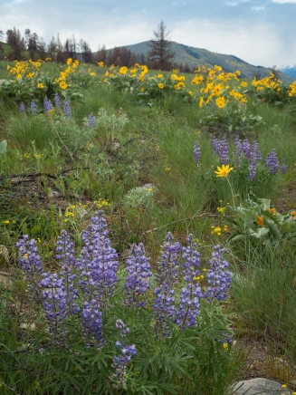 Lupine, balsamroot and Patterson Mtn in the background