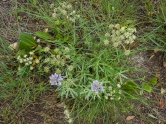 Lupine and lomatium