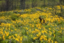 Balsamroot so deep, you can only see puppy dog tails!
