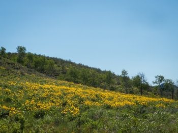 Hillsides carpeted in balsamroot above Pearrygin Lake