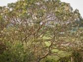 Madronne tree