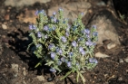 Phacelia sp. Very common on the burned landscape