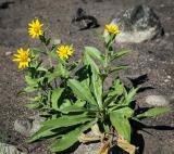 Douglas sunflower
