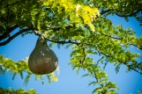 Tree Swallows nest in this gourd