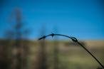 Hope vine