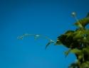 Another hop vine