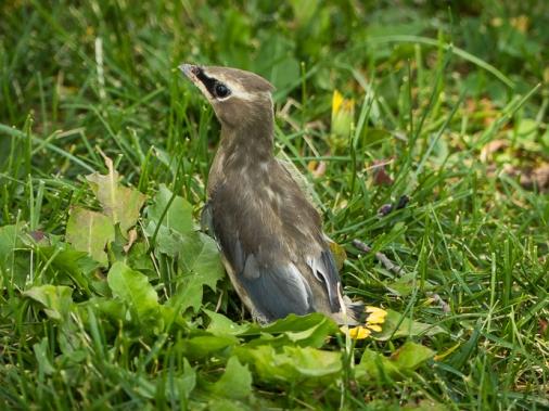 Newly fledged Cedar Waxwing
