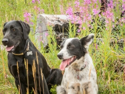 Dogs and fireweed