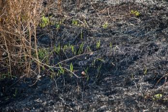 Perennial non-native grass returning quickly