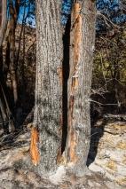 Cottonwood trunks