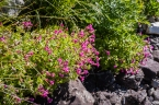Normally this monkeyflower would bloom over a creek. This creek bed is dry