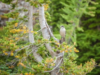 Gray Jay otherwise known as camp robber
