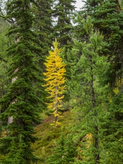 Smaller larches are already changing color