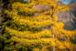 Western larch needles. Larch is the only conifer I know that loses its needles every year.