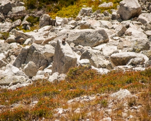 See the tiny pika on the rock? Pika is the smallest member of the rabbit family. They live in talus fields like this and gather dry grasses, making little hay piles under the rocks, to eat in the winter.