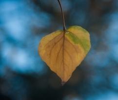 Lingering aspen leaf