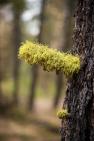 Wolf lichen on a pine tree.