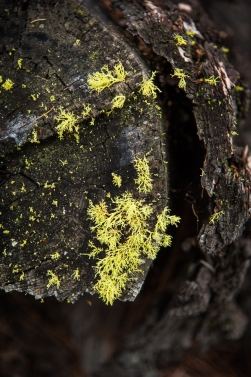 Lichen at the end of a cut tree