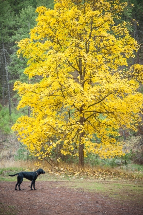 Maple tree clothed in yellow