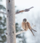 This American Kestrel is pretty efficient at hunting Mourning Doves
