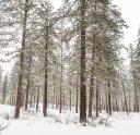 So nice to be among live ponderosa pines!