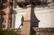 A Pyrrhuloxia, a life bird for me.
