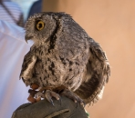 I think this is a Western Screech Owl