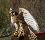 American Kestrel. Falcon always have such large eyes!