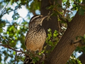 This Cactus Wren was gathering nesting materials