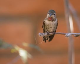 I think this is a female Anna's Hummingbird
