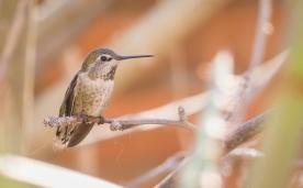 So many hummingbirds