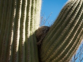 Bird's nest on a saguaro