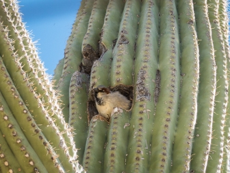 Invasive House Sparrow in a saguaro cavity